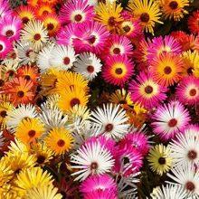 Mesembryanthemum Flower Seeds Mix