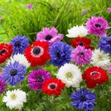 Anemone Flower SEEDS Double Flower F1