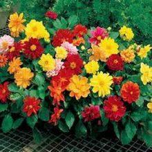 Dhalia Double Flower Seeds MIX
