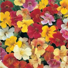 Mimulus Flower Seeds Mix