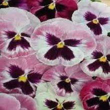 Pansy Rosalyn Flower Seeds F1 Double Flower