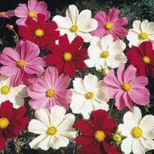 Cosmos Flower Seeds MIX Colour