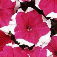 Petunia Rose Picotee Flower Seeds F1