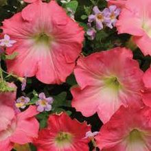 Petunia Rosy Red Flower Seeds F1
