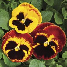 Pansy Fire Flower Seeds F1 Double Flower