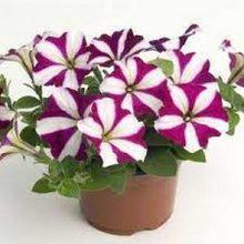 Petunia Carmine & White Flower Seeds F1