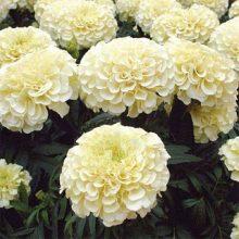 Marigold White Flower Seeds F1 INCA