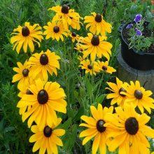 Rudbekia Flower Seeds