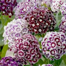 Sweet William Flower Seeds Mix Colour