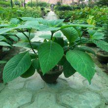 Neelam Plant Live Plant BY HAMZA EXPRESS